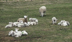 Sheep - Copyright Sheep Corner Farm